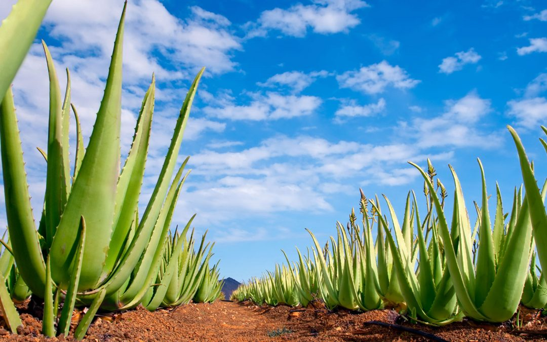 El cultivo del Aloe Vera en Canarias