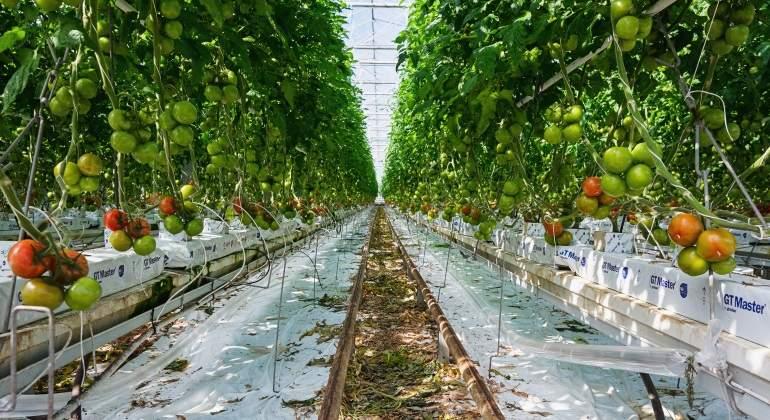 Un invernadero de Tomate tan grande como 24 campos de fútbol juntos