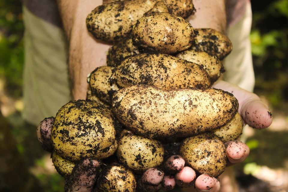Producción integrada. Asesoramiento de cultivos agrícolas en Canarias