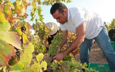 Las condiciones meteorológicas del sur de Tenerife impactan la producción de uvas de calidad para este año
