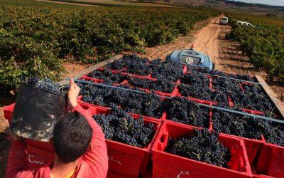 La cosecha de uva de este año en Lanzarote ha sido la más prominente de su historia