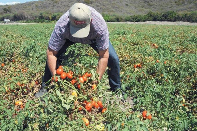 En Canarias la zafra de tomate requiere urgentemente de mayor cantidad de mano de obra