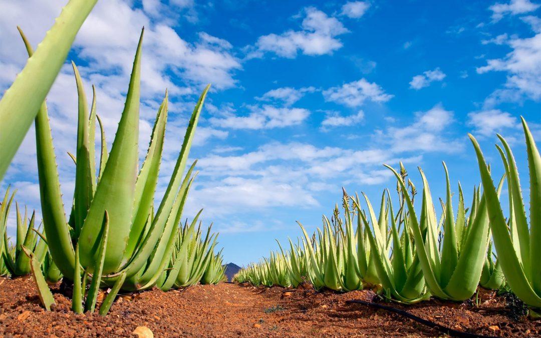 El Olivo y el Aloe Vera en las ayudas del POSEI