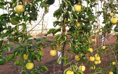 Cultivo de la parchita (fruta de la pasión – maracuyá) en Canarias