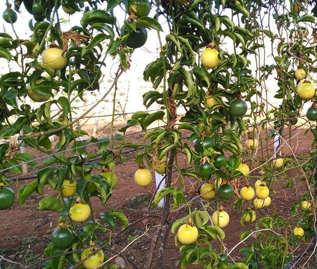 Cultivo De La Parchita Fruta De La Pasión Maracuyá En Canarias Agroingenia Canarias