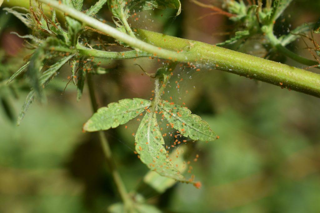cultivo araña roja del tomate