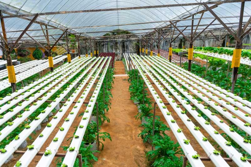 ¿Cuál es el cultivo hidropónico más rentable?