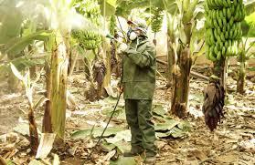 insecticidas-para-el-picudo-negro-727x471
