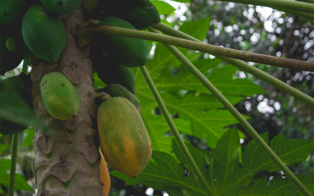 Cultivo de papaya en Canarias