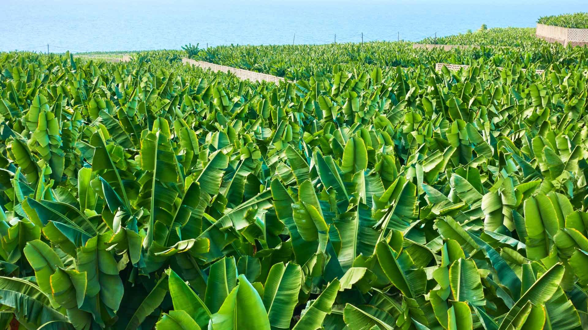 exportación de plátano de Canarias