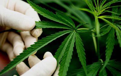 Informe pericial de cannabis